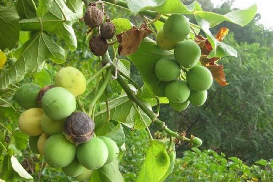 Jatropha Plant and Seeds