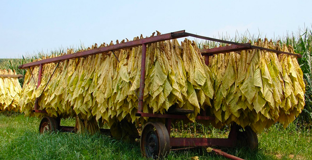 Tobacco farmers' deal turns sour