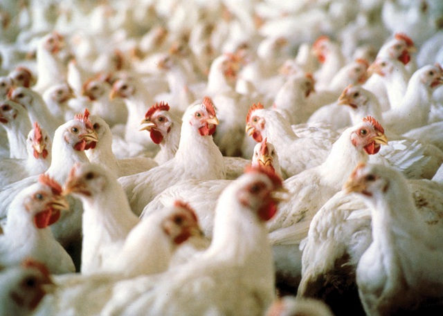 Poultry meat sector improves